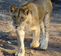 Young Lion Walking with Tongue Out Photograph