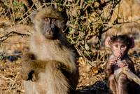 Young Baboon and Baby in Botswana