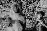 Young Baboon and Baby Black and White Photograph