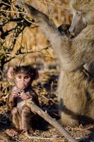 Older Baboon with Baby in Botswana Photograph