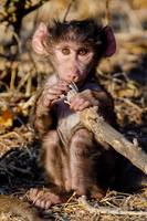 Baby Baboon Chewing on Stick in Botswana Photo