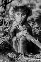 Baby Baboon Chewing on Stick in Black and White