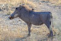 Warthog with Oxpecker in Botswana Photograph