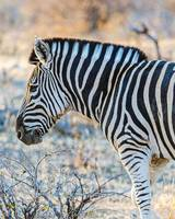 Zebra Profile in Botswana Photograph