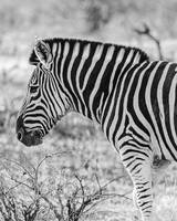 Zebra Profile in Black and White Photograph