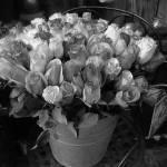"""Au nom de la rose"" by sphynge"