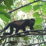 """Another Howler Monkey"" by chasedavis"