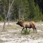 """""""Cervus canadensis -Elk"""" by chasedavis"""