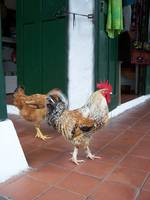 Chickens in Panama City, Panama