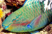 Parrotfish Sleeping at Night