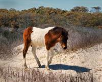 assateague-pony-N2BHS-MR-filly-foal-4100036