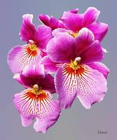 Pink Pansy Orchids