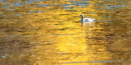 Duck in Golden Reflection (WC)