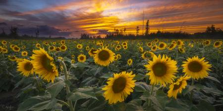 Sunflower Field Pano by Cody York_X7A5303