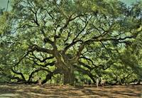 500 years old Angel Oak