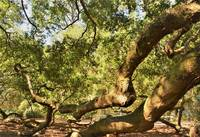 Limbs of Angel Oak