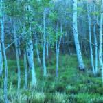 """""""Aspen Grove (retouch)"""" by joefoto"""