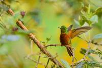 Chestnut-Breasted Coronet Hummingbird BiNTHu-0232
