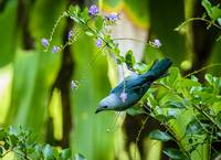 Blue-gray Tanager  BiNT-0396