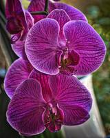 Purple Orchid Bloom