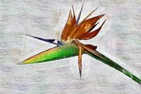 A Bird Of Paradise Bloom