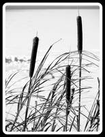 Winter Bullrushes