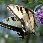 """Swallowtail Butterfly"" by NatureBoyPhotos"