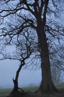 Midwinter Trees