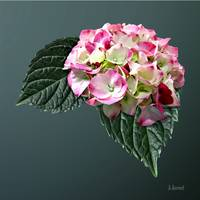 Elegant Pink and White Hydrangea