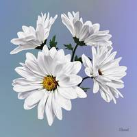 Circle of White Daisies