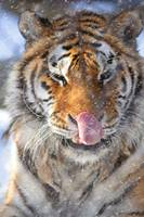 Tiger Catching Flurries