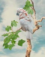 Cockatoo in Indian Ghost Tree