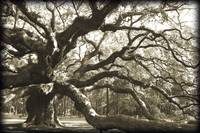 Live Oak, Charleston South Carolina