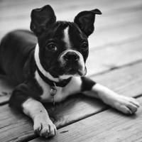 Boston Terrier Posing