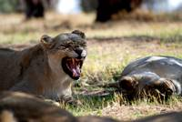 Snarling African Lioness
