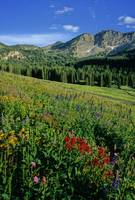 Albion Basin and Wildflowers