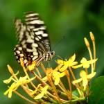 """""""Fluttering Butterfly"""" by Balu"""
