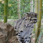 """Clouded Leopard"" by gpage"