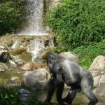 """Western Lowland Gorilla"" by gpage"