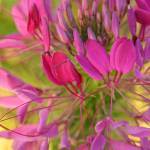 """Cleome"" by sunpathdesigns"