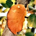 """""""Her Orange Leaf"""" by AmandaMaes"""