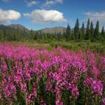 """Fireweed, mountains, & clouds in Alaska"" by jansmith"