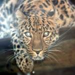 """Amur Leopard"" by kevenlaw"