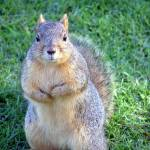 """Not a Grey Squirrel..lol, or English..come to that"" by kevenlaw"