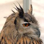 """European Eagle Owl Portrait - Side on - London Bri"" by kevenlaw"
