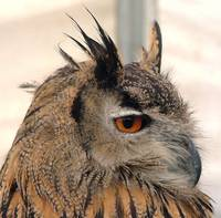 European Eagle Owl Portrait - Side on - London Bri