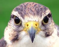 Kevin the Falcon - Portrait..:O) - Close Up - Lond