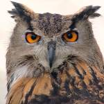 """European Eagle Owl Portrait - London Bridge, Londo"" by kevenlaw"