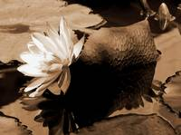 Water Lily Floral and Still Life in Sepia Tones