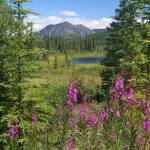 """Fireweed, pond, and mountains near Cantwell, Alask"" by jansmith"